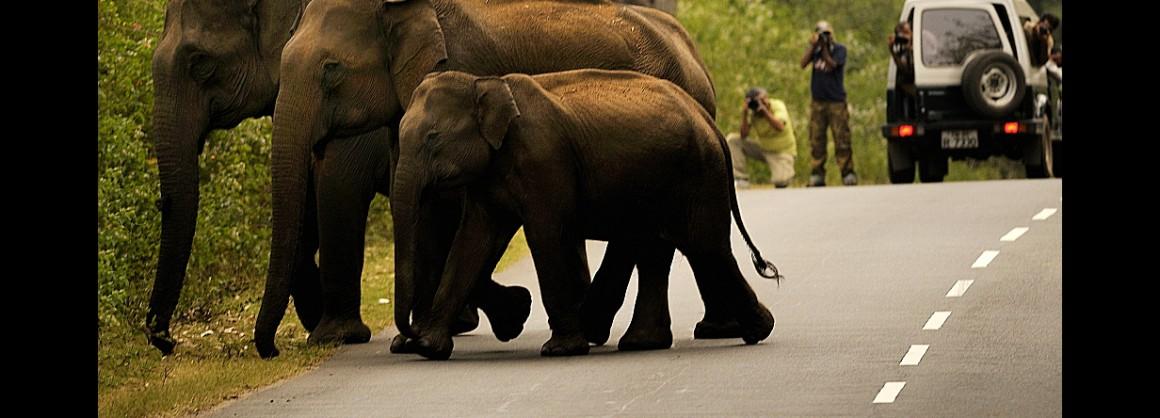 megszökött elefánt